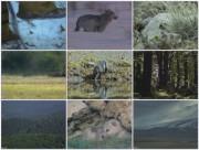 BBC: Волк — Лесной разбойник / Wolf Adler
